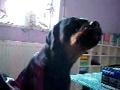 Rottweiler canta Pink Floyd