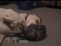 Gato e Labrador: luta ou amor?